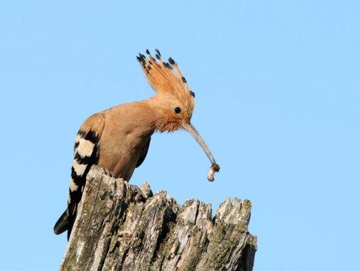 Der Wiedehopf (Upupa epops) hat einen langen Pinzettenschnabel, © Ján Svetlík via Flickr