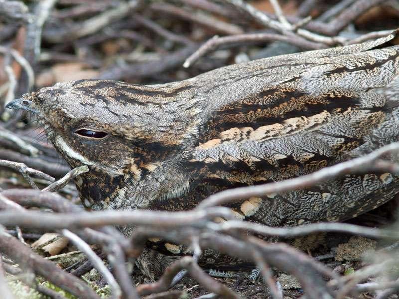 Ziegenmelker (Caprimulgus europaeus), © Jerry Hoare via Flickr