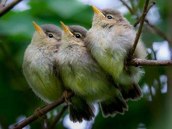 Junge Zilpzalpe (Ästlinge), © Thomas Erichsen via naturgucker.de