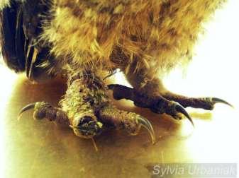Durch eine Abschnürung ist am Fuß eines jungen Waldkauzes eine riesige Schwellung entstanden, ein Zeh ist teilweise abgestorben und die Kralle steht schief, © Greifvogelhilfe.de