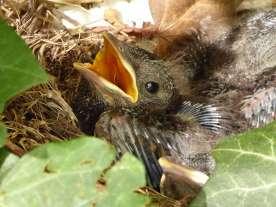 Junge Amseln im Nest, © rewind / Pixabay
