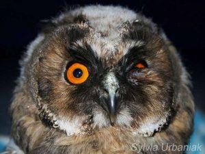 Augenverletzung bei einer Waldohreule, © Greifvogelhilfe.de