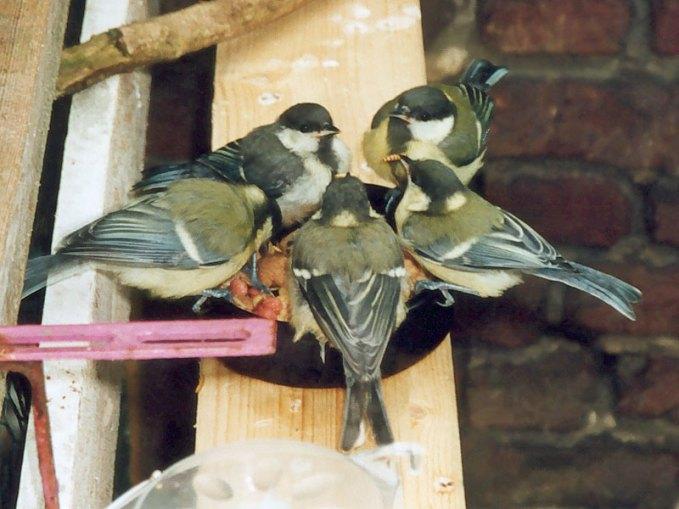 Futterbrettchen an Auswilderungsvolieren werden von den Vögeln auch nach ihrem Ausfliegen oft noch einige Tage lang aufgesucht, © Dagmar Offermann