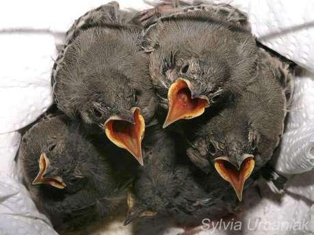 Junge Bachstelzen, © Sylvia Urbaniak