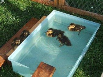 Eine Badestelle ist für junge Wasservögel sehr wichtig, ohne geht es nicht; © Dagmar Offermann