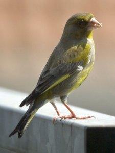 Grünfink auf dem Balkon in der Nähe des Futterplatzes, © Gaby Schulemann-Maier