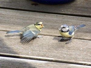 Blaumeisenästling (links) mit Altvogel auf dem Balkon, © Gaby Schulemann-Maier