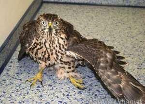 Habicht mit Ständerbruch und abgespreiztem Flügel, © Greifvogelhilfe.de