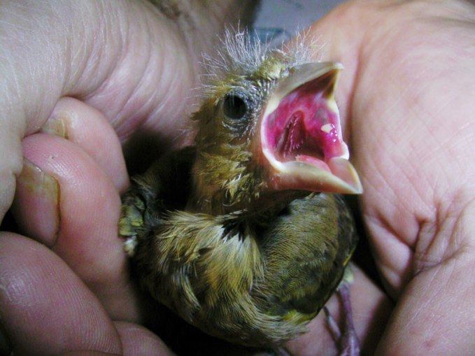 Hungriger junger Grünfink, © C. Busse-Ziegler