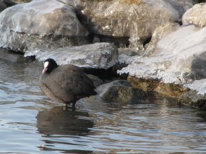 Bei eisigen Temperaturen brauchen Wasservögel oft Hilfe in Form von Futter, das ihnen der Mensch reicht, © Gaby Schulemann-Maier