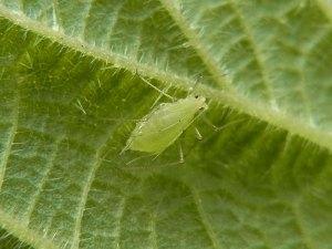 Blattläuse gehören in Gärten zu den meist nicht sehr gern gesehenen tierischen Bewohnern, © Gaby Schulemann-Maier