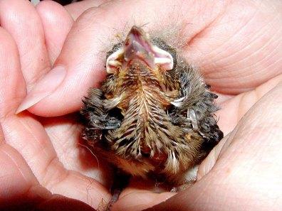 Junger Buchfink, © Sonja Wendl
