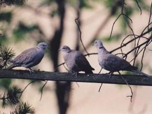 Diese drei jungen Türkentauben sind zusammen aufgewachsen und wurden gemeinsam ausgewildert, © Anke Dornbach