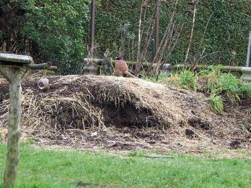 Ein Fasan sucht auf einem Komposthaufen nach Fressbarem, © Dagmar Offermann