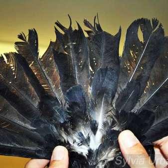 Typischer Federlingfraß im Gefieder einer Taube, © Sylvia Urbaniak