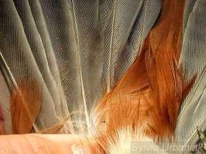 Federmilben auf den Schwanzfedern eines Seidenschwanzes, © Sylvia Urbaniak