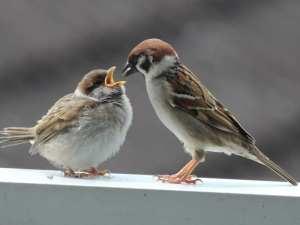 Junger Feldsperling (links) wird von einem Altvogel gefüttert, © Tanja Weise via naturgucker.de