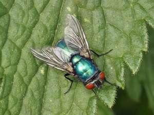 Fliege, © Gaby Schulemann-Maier