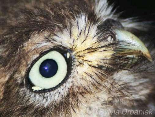 Fliegeneier im Gesicht eines Steinkauzes, hier darf kein Wasserstoffperoxid angewendet werden, © Sylvia Urbaniak