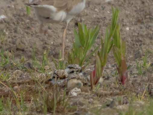 Gut versteckt liegt dieser junge Flussregenpfeifer hinter einem Altvogel, © Sigrun Brüggenthies