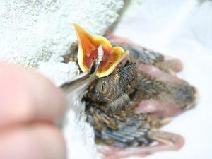 Singdrosselfütterung: Das Futtertier wird weit in den Rachen gelegt, damit es die junge Singdrossel gut schlucken kann, © Dr. Dorgrit Diepholz