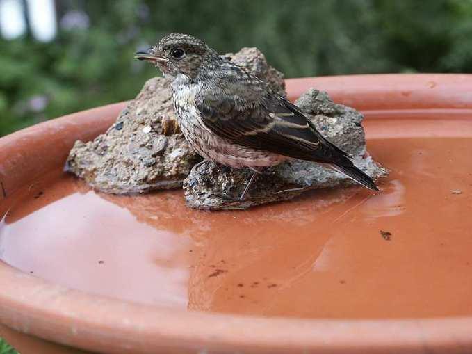 Junger Grauschnäpper an der Vogeltränke, © Jana Kliche