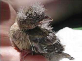 Junger Grünfink, © Monika Schräder