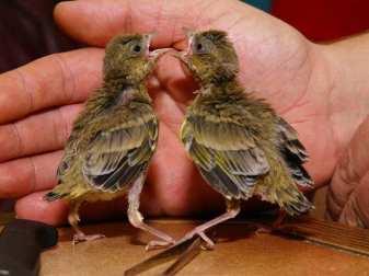 Junge Grünfinken, © Holger Rothe