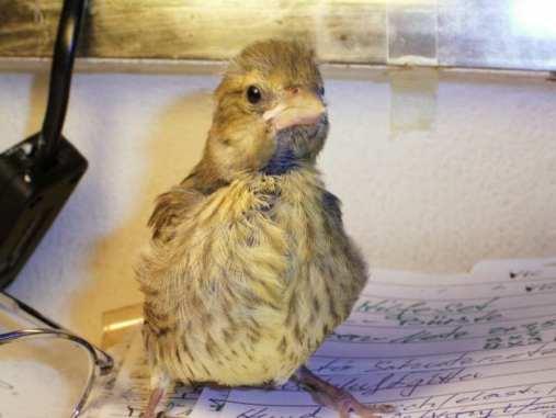Junger Grünfink, © Cornelia Busse-Ziegler