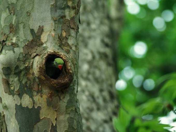 Junger Halsbandsittich in einer Naturnisthöhle, © Detlev Franz