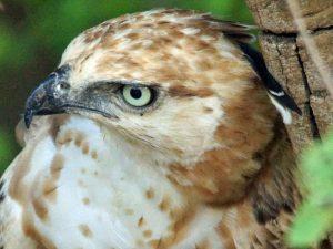 Nur ein kleiner Teil der Vogelaugen liegt außerhalb des Schädels, weshalb die Gefahr einer Austrocknung niedriger ist als bei den Augen der Menschen; das Foto zeigt einen Haubenadler (Nisaetus cirrhatus), © Gaby Schulemann-Maier