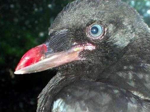 Der abgebrochene Teil des Oberschnabels dieser Krähe wurde durch eine Prothese ersetzt, © Sylvia