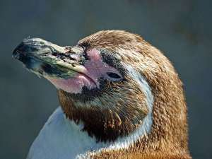 Der Schnabel der Pinguine - hier ist ein Humboldt-Pinguin (Spheniscus humboldti) zu sehen - weist innen an den Rändern kleine Zacken zum Fixieren der Beute auf, © Gaby Schulemann-Maier