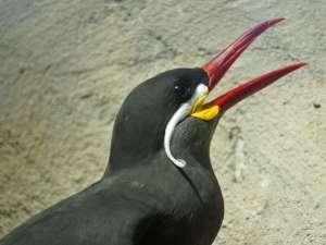 Lang und spitz ist der Schnabel der Inkaseeschwalbe (Larosterna inca), sie kann damit besonders leicht Fisch fangen, © Gaby Schulemann-Maier