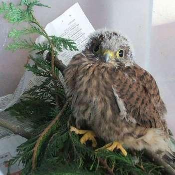 Jeune faucon crécerelle, © Dagmar Offermann