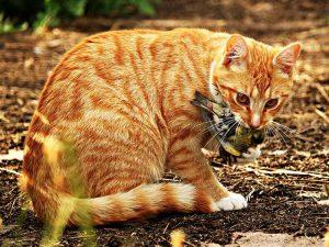 Diese Hauskatze hat einen Wildvogel erbeutet und getötet, © rihaij / Pixabay