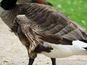 Kippflügel bei einer Kanadagans, © Greifvogelhilfe.de