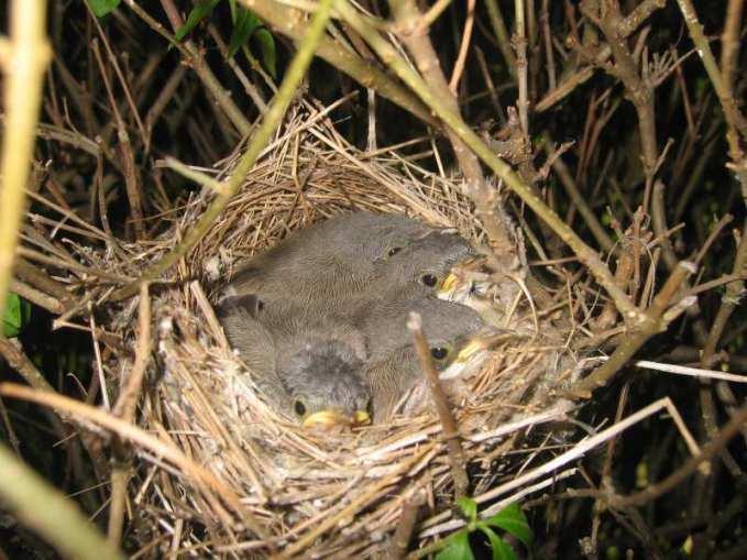 Junge Klappergrasmücken im Nest, © Felix Fuchs