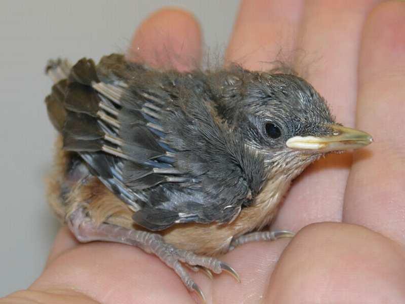 cc5f70d9c15 Jungvogel mitgenommen: Notfall-Checkliste - Wildvogelhilfe.org