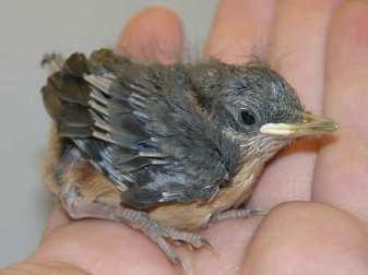 Junger Kleiber, © Verein für kleine Wildtiere in großer Not