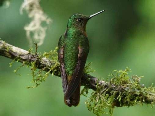 Der lange, röhrenförmige Schnabel der Kolibris dient den Vögeln als Werkzeug zum Trinken des süßen Pflanzensaftes aus Blüten mit tief liegenden Nektarquellen, © Gaby Schulemann-Maier