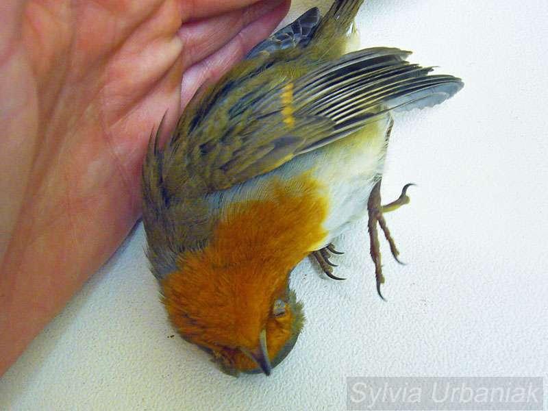 Kollisionsunfälle - Wildvogelhilfe.org