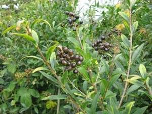 Liguster eignet sich gut als Heckenpflanze und liefert außerdem Beeren. © Gaby Schulemann-Maier