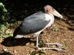 Der Marabu (Leptoptilos crumeniferus) gehört zu den Landvögeln mit der größten Flügelspannweite, auch wenn er sich diesbzeüglich vom Andenkondor geschlagen geben muss, © Gaby Schulemann-Maier