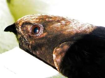 Kopf eines etwa 30 Tage alten Mauerseglers, © Jennifer Jürgens