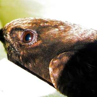 La tête d'un martinet noir âgé de 30 jours, © Jennifer Jürgens