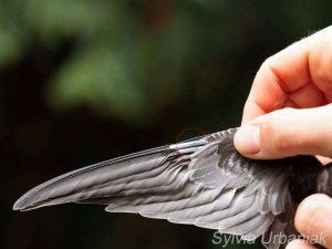 Solange junge Mauersegler noch Federkiele an den Flügeln haben, können sie noch nicht ausgewildert werden, © Sylvia Urbaniak