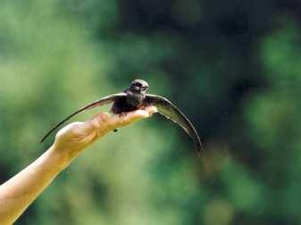 Breitet ein Mauersegler die Flügel aus, fühlt er den Wind unter seinen Schwingen und wird bald in die Freiheit starten, © Anke Dornbach