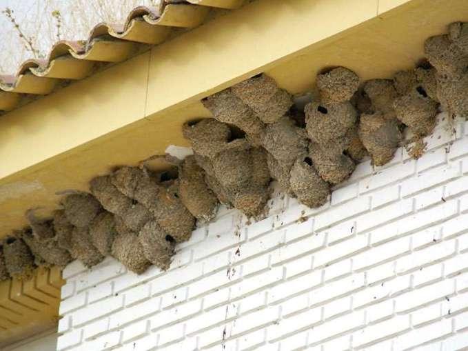 Mehrere Mehlschwalbennester dicht beieinander, © Gaby Schulemann-Maier