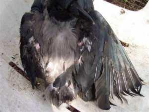Das Ausmaß des ernährungsbedingten Gefiederschadens dieser Näbelkrähe ist beträchtlich